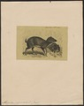 Tragulus pygmaeus - 1700-1880 - Print - Iconographia Zoologica - Special Collections University of Amsterdam - UBA01 IZ21500180.tif
