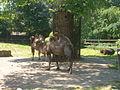 Trampeltier Zoo Hoyerswerda.JPG