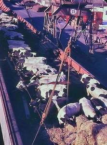Transport of live animals on the deck of a cargo ship.png