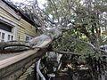 Tree falls in New Orleans - Hurricane Isaac.jpg