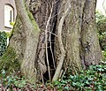 Tree hollow in an 18th-century ginkgo at the Oude Hortus in Utrecht (close-up).jpg