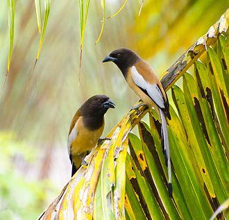 Rufous treepie - Image: Treepie by arshad ka