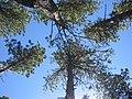 Treetops (20721820).jpg
