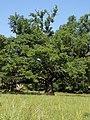 Tri Hrasta Luznjaka, Bare, Barajevo 02.jpg