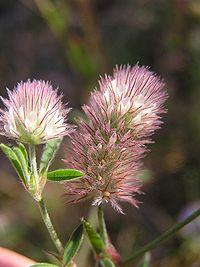 Trifolium arvense 2005.07.11 09.23.43