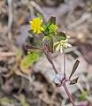 Trifolium dubium in Aveyron (1).jpg