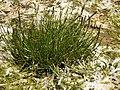 Triglochin maritimum plant (02).jpg