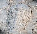 Trilobite in the sand 4 (46789950021).jpg
