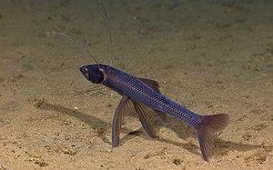 Tripod stance - Image: Tripod fish 1