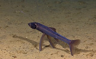https://upload.wikimedia.org/wikipedia/commons/thumb/c/c3/Tripod_fish1.jpg/320px-Tripod_fish1.jpg