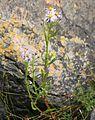 Tripolium pannonicum ssp maritimum NO strandstjerne IMG 4148 ersvika.JPG