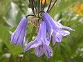 Triteleia grandiflora (3626403966).jpg