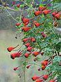 Tropaeolum tricolor - Flickr - peganum (4).jpg
