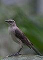 Tropical Mockingbird, Mimus gilvus.jpg
