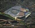 Tule perch returns to Alhambra Creek beaver pond 2010.jpg