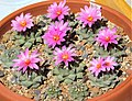 Turbinicarpus alonsoi group flowering - Flickr - Resenter89.jpg