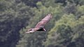 Turkey Vulture (Cathartes aura) (5206843652).jpg