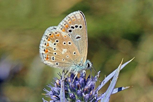 Sưu tập Bộ cánh vảy 3 - Page 42 640px-Turquoise_blue_%28Polyommatus_dorylas_magna%29_male_underside_Macedonia