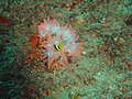 Twobar anemonefish at Pao reef dsc04578.jpg