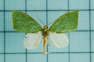 <i>Tyana falcata</i> species of insect