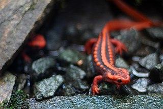 <i>Tylototriton</i> genus of amphibians