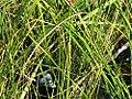 Typha angustifolia 3zz.jpg
