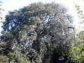 Ulmus glabra. Duddingston, Edinburgh (2).jpg