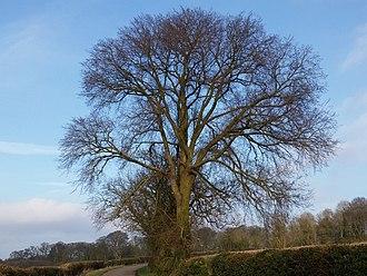 Ulmus × hollandica - Image: Ulmus x hollandica. Ormsby Ring, South Ormsby, Lincolnshire (1)