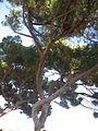 Un pino in spianata - panoramio.jpg