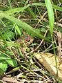 Unidentified toad in a footpath near Marla, La Réunion.JPG