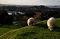 Urban sheep (5) (8955081702).jpg