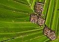 Uroderma bilobatum, Gamboa, Panama 2.jpg