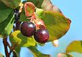 Vaccinium myrtillus - Bilberry - Maviyemiş 02.jpg