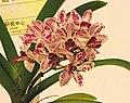 Vandachostylis Red Genie -台南國際蘭展 Taiwan International Orchid Show- (40744407132).jpg