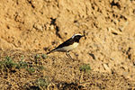 Variable Wheatear (Oenanthe picata) (8079438083).jpg