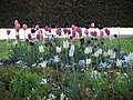 Verblühende Tulpen.jpg
