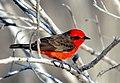 Vermilion Flycatcher.jpg