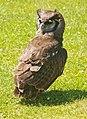 Verraux's Eagle Owl - geograph.org.uk - 1371140.jpg