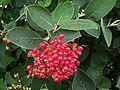 ViburnumLantana Fruits.jpg