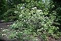 Viburnum nudum var. angustifolium 4zz.jpg