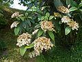 Viburnum rhytidophyllum 2016-05-17 0580.jpg
