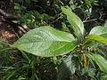 Viburnum rigidum 07.JPG