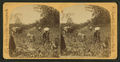 View of African American workers in a cotton field near Atlanta, from Robert N. Dennis collection of stereoscopic views.png