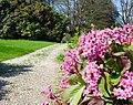 Villa Craven di Seyssel d'Aix - dettaglio del giardino con bergenie e camelie.jpg