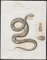 Vipera elegans - 1700-1880 - Print - Iconographia Zoologica - Special Collections University of Amsterdam - UBA01 IZ11700131.tif
