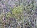 Vulpia octoflora (3862380447).jpg