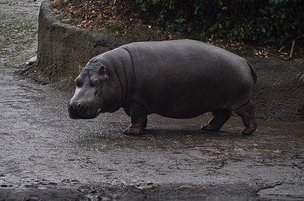 Hippopotamus - Wikiwand