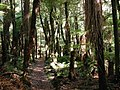 Walkway through native bush in Whirinaki Forest.jpg