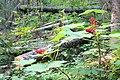 Wapta Falls Trail IMG 4946.JPG
