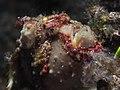 Warty frogfish ( Antennarius maculatus) (24408601016).jpg